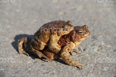 Two frogs. One sits on the other. Frogs crawl through asphalted