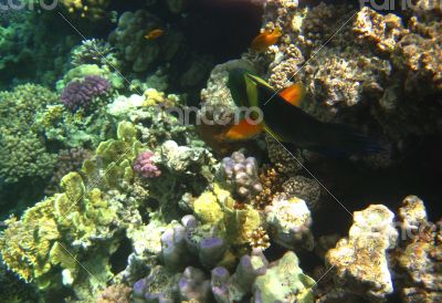 Tropical exotic fish in the Red sea. Cheilinus lunulatus