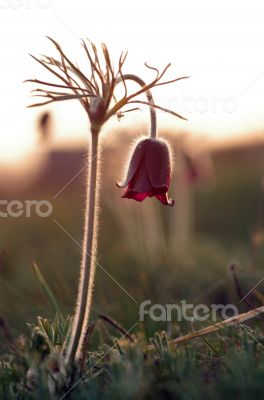 Pasque-flower growing in nature on sunset, macro spring floral b