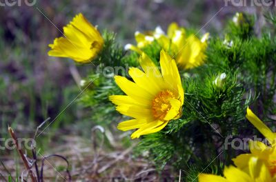 Wild yellow adonis growing in nature, floral natural background