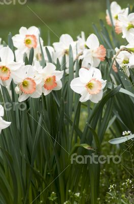 narcissus flowers over natural background.