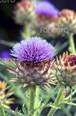 A beautiful flower of a wild artichoke growing along a footpath
