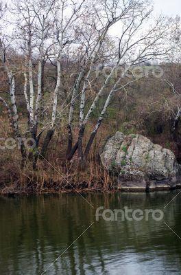 Aspen on the river bank