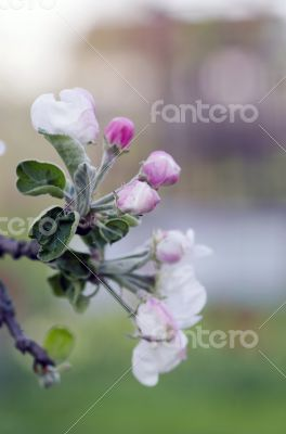 blossom apple tree. Apple flowers close-up.