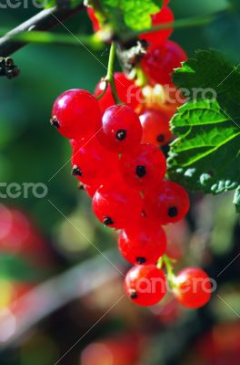 A branch of red currant