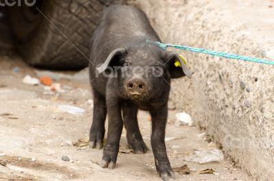 Pig on a market