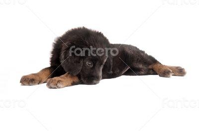 Sad fluffy puppy