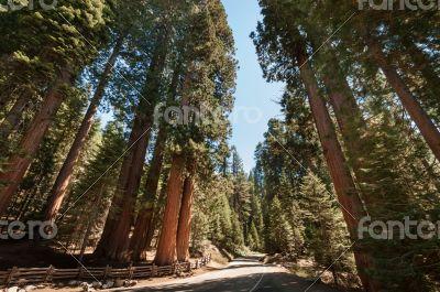Sequoia tree street
