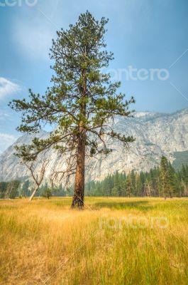 Yosemite lonley tree