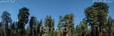 tree panorama Sequoia