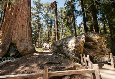 bole Sequoia