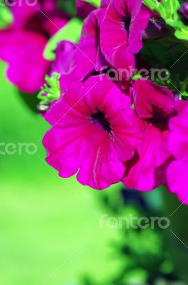 A cluster of purple petunias hanging on tree close up