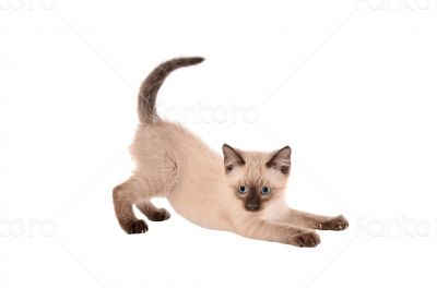 Stretching siamese kitten