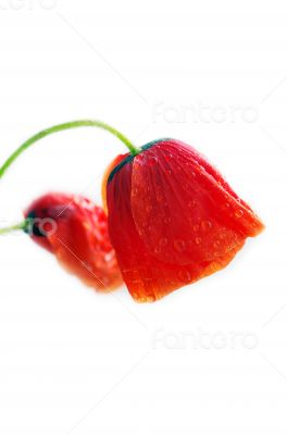 Studio Shot of Red Colored Poppy Flowers Isolated on White Backg