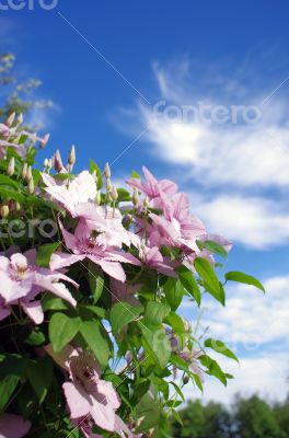 Close up of beautiful single white clematis flower