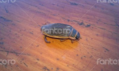 Chinese insect