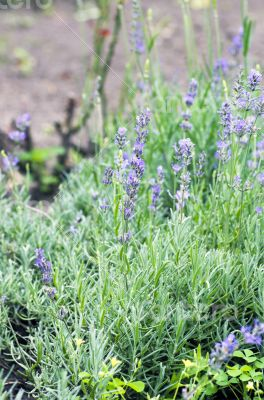 macro of lavender plant. herbal landscape of aromatic plant