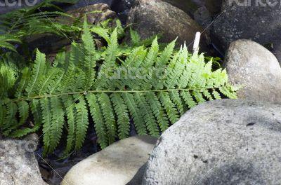 Fern leaf growing among the rocks.
