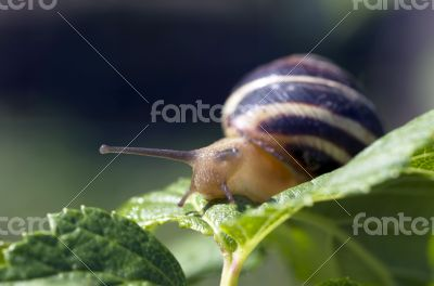 Small brown snail on a green leaf