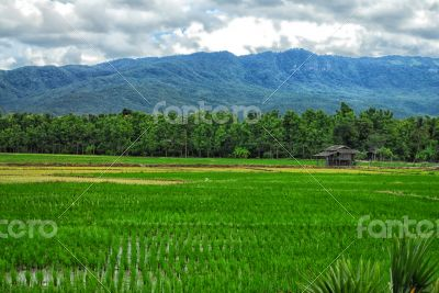 Paddy field by the hill