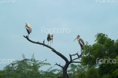 Painted Storks Birds