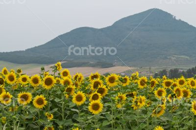 Large and bright sunflowers on the field.