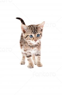 Cute Tabby Kitten with Blue Eyes