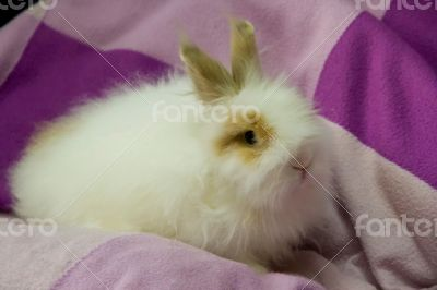 White fluffy little bunny on the purple