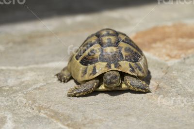 Brown turtle crawls over the flagstones sunny summer afternoon.