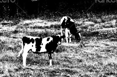 Cows with black spots grazing on the meadow.