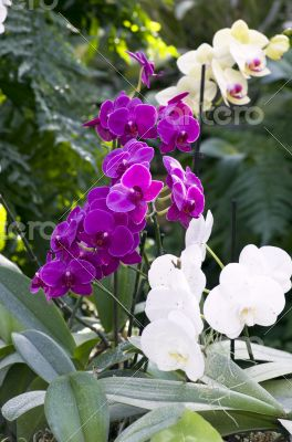 Beautiful purple and white orchid - phalaenopsis