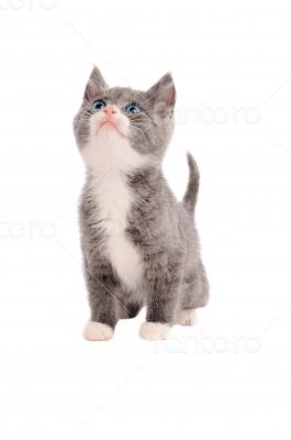 Adorable grey and white kitten looking up