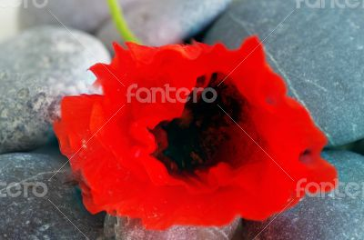 Closeup of dew drops on a poppy petal