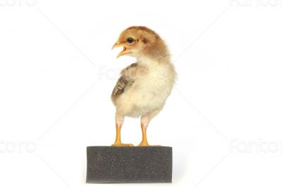 Baby chicken - Stock Image