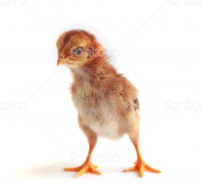 Baby chicken - Stock Image