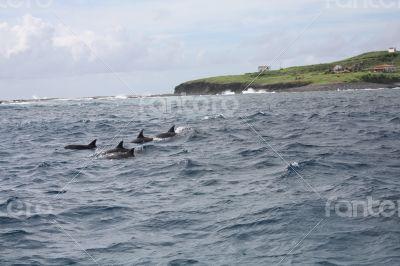 Dolphins at Fernando de Noronha, Brazil