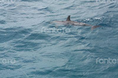A dolphin at Fernando de Noronha, Brazil