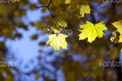 autumn background maple leaves close up