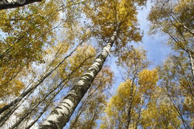 Autumn trees with yellow leaves against the sky
