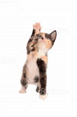 Calico Kitten Reaching Up