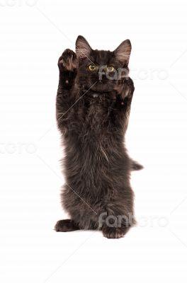 Fluffy Black Kitten Standing