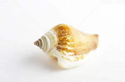 Marine sea shell in a studio setting against a white background