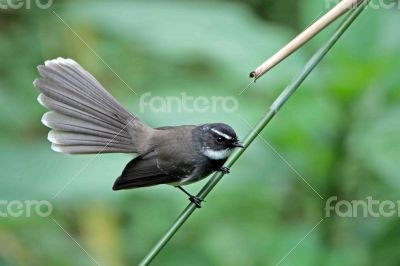 Spot Breasted Fantail