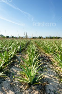 Crop of aloe vera plants