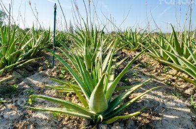 Crop of aloe vera plants