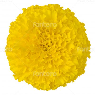 Yellow Marigold flower isolated on white