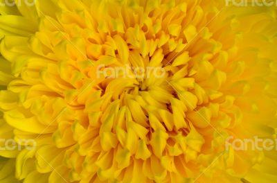 Close-up yellow chrysanthemum flower