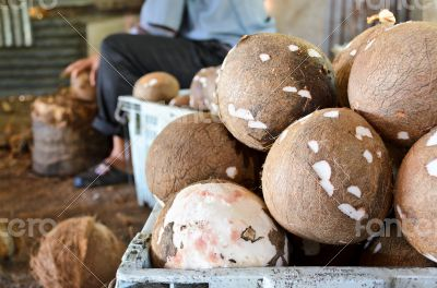 Coconut processing agricultural produce.