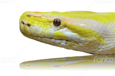 Head albino python snake isolated on white