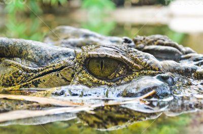 Eyes of the crocodile in water
